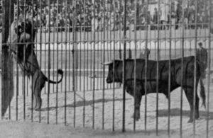 Lucha entre un toro y un león en Madrd 1894